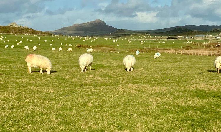 Sheep-on-the-Pembrokeshire Coastal Path